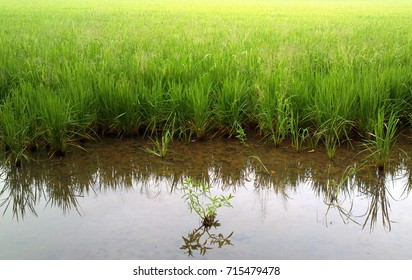 Rice is life, rice is the main food of the Thais. And rice cultivation is a major occupation of Thais