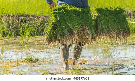 Rice is the major food in Thailand.Farmer're people that work very hard to get rice to others for consume.Everyday they endure from the sun, hot weather and anything else that's made them false.