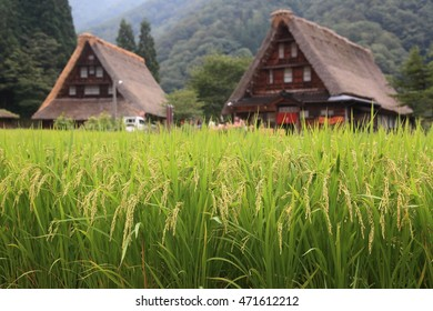 Rice and old houses
