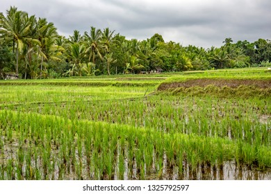 Rice paddies in Ubud, Bali, Indonesia. The town is located amongst rice paddies and steep ravines in the central foothills of the Gianyar regency