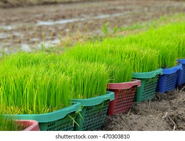 rice paddy in basket