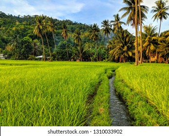 Rice paddy in Cagayan De Oro, Mindanao, The Philippines