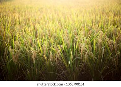 Rice Paddy Closeup