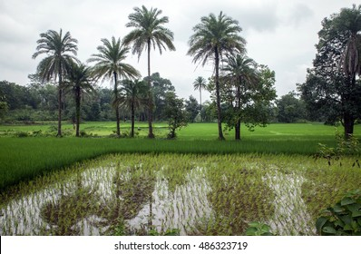 Rice paddy in an indigenous village in Jharkand, India