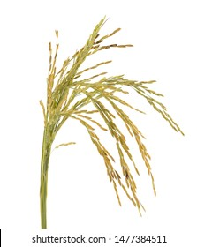 Rice paddy isolated on white background.
