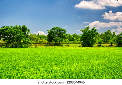A rice paddy at Kaiping Diaolou in Zili village in Kaiping China in Guangdong province on a sunny blue sky day.