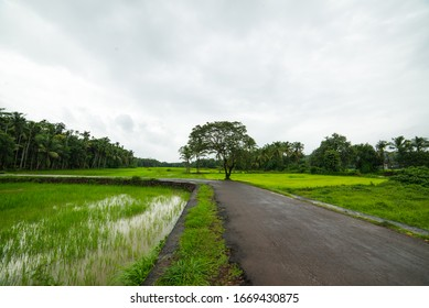 Rice Paddy  landscape with Coconut trees and small revere