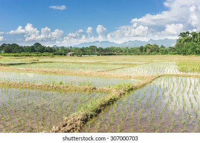 Rice paddy with new young rice, cloudy and blue sky background.