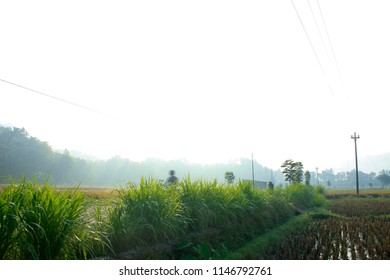Rice paddy plant in the farm during harvesting season in Imogiri village, Yogyakarta Indonesia