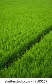 Rice paddy in rural Japan.