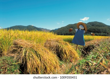 rice paddy and scarecrow in autumn