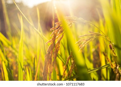 Rice paddy under the sun shining picture