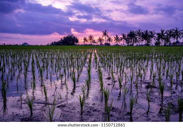 Rice paddyfield during sunset in Bali, Indonesia