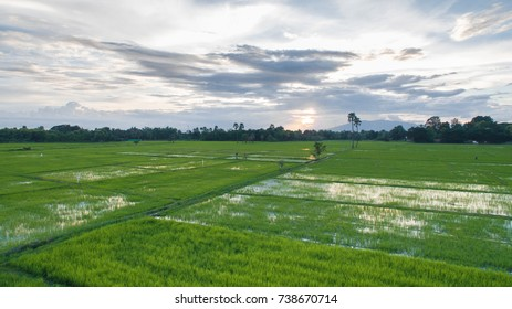 Rice paddy,Rice fields of Thailand in the evening.