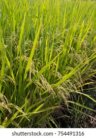 Rice panicle of rice field