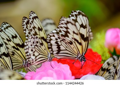 rice paper butterfly in okinawa
