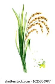 Rice plant with leaves and grains. Watercolor hand drawn illustration, isolated on white background