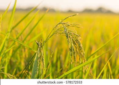 Rice plant in paddy field in Thailand,Close up of green paddy rice plant,Rice plants closeup in autumn