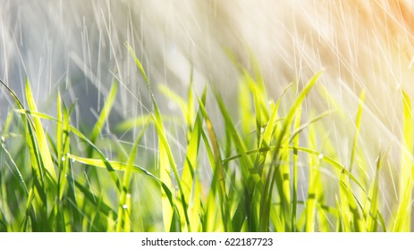 rice plant with raining at sunny day. Subject is blurred