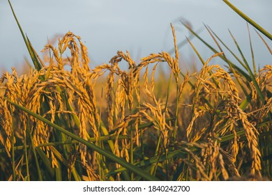 Rice plant ripe in the rice field ready for harvest in Vercelli, Piedmont
