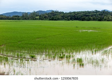 Rice plantation farms in Itajai, beginning of planting, cloudy day, Santa Catarina