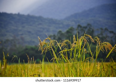 Rice planting with background mountains in the late afternoon. Joinville - Santa Catarina - Brazil