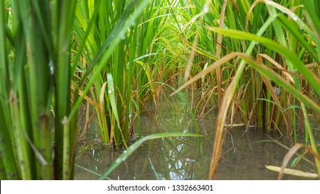 Rice plants with enough water, entering the harvest season, water needs must be maintained so that the roots of rice become strong so that they are not easily knocked down by the wind