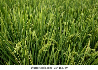 Rice plants - Rice field in the North of Italy - Piedmont