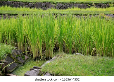 Rice plants at the Fields, rice panicles,  terraced cultivation