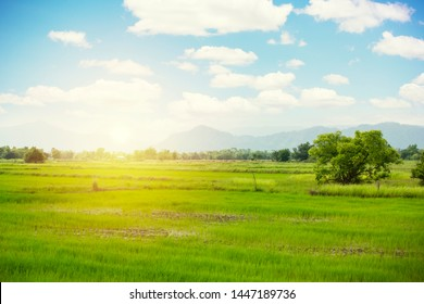 Rice plants are growing in the fields and has a bright green color.