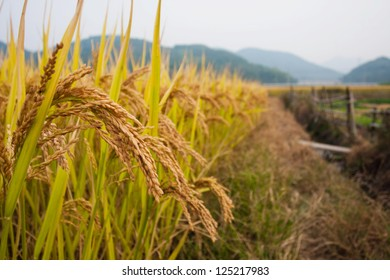 Rice plants ready to harvest