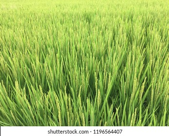 A rice producing district in Japan