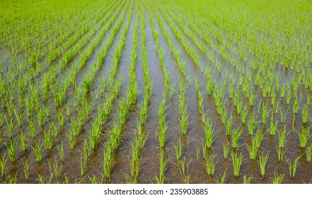 Rice Production Asia farming and Agriculture