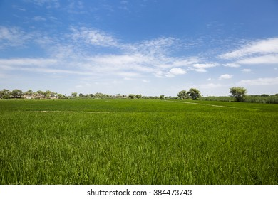 Rice production field
