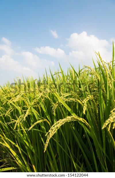 rice ripe