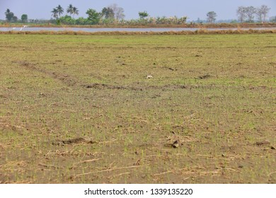 Rice seed green leaves and sprout on wet soil in field.
