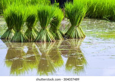 Rice seedlings