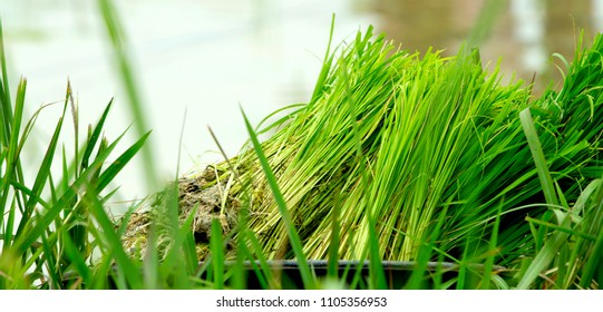 Rice seedlings in the basin