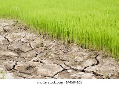 Rice Seedlings Field
