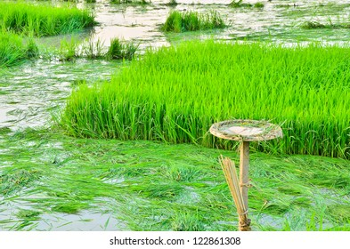 Rice seedlings field in asia.