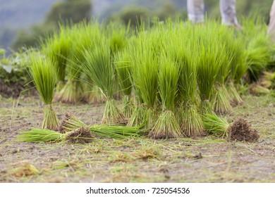 rice seedlings thailand