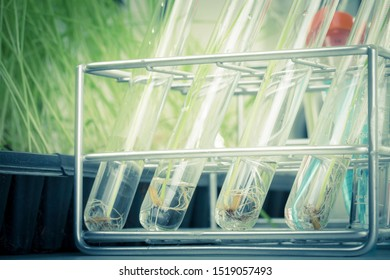 Rice seeds in science tubes. Research of new species of rice. In the lab