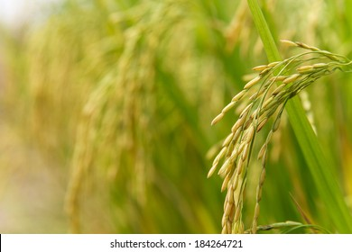 Rice spike in rice field