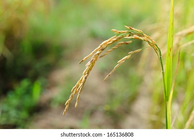Rice. Spikelet of rice. Thailand