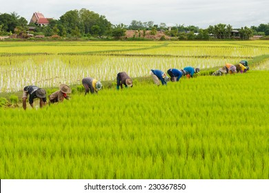 rice sprout ready to growing in the rice field