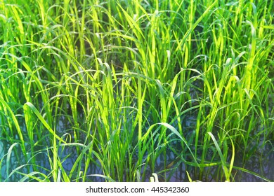 Rice sprouts with rice price slump situation