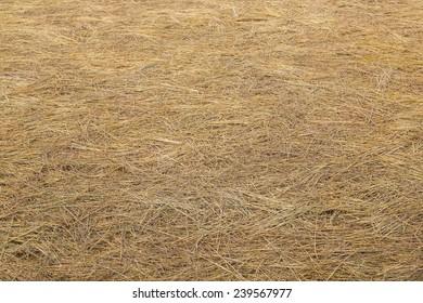 Rice Straw After Harvest Season n Thailand