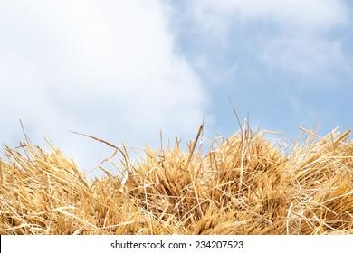 Rice straw on blue sky background, Thailand.
