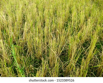 Rice straw at the paddy rice field just after harvesting. Rice farm on harvesting season. Agricultural concept.