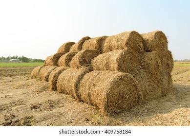 Rice straw roll on rice field